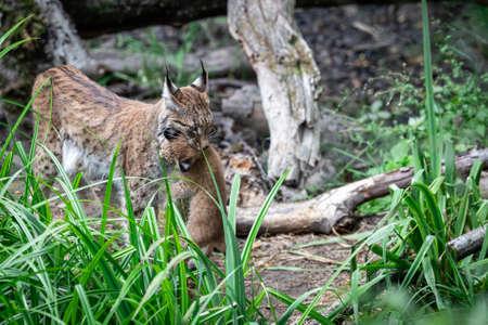 Photo pour Baby Lynx in the forest - image libre de droit