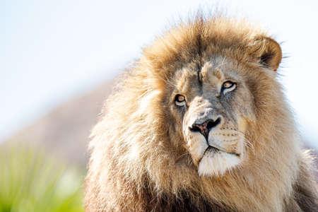 Photo pour Portrait of Lion in the forest - image libre de droit