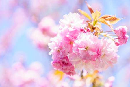 Photo pour Beautiful cherry blossom 'sakura' in spring time - image libre de droit