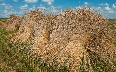 Sheaves of Wheat   Bundles of wheat stalks dry in the afternoon sun on a farm in southern Pennsylvania