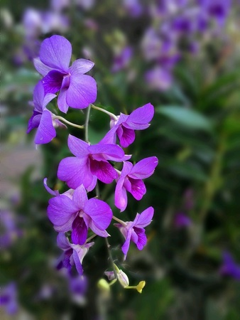 Beautifully violet orchids flower
