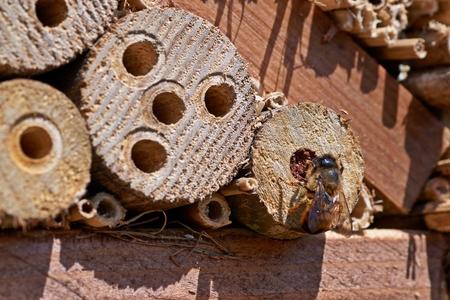 Photo pour Red Mason bee inspecting a potential nesting site. - image libre de droit