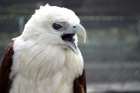 Squawking eagle