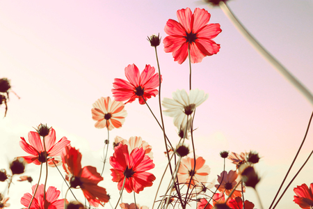 Photo pour Mountain landscape with  pink Cosmos flowers in blooming with sunset background. - image libre de droit