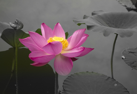 Close up view of a lotus in the lotus pond