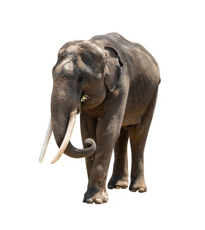 Photo for asia elephant isolated on white background  ,include clipping path - Royalty Free Image