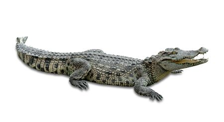 Photo pour crocodile isolated on white background ,include clipping path - image libre de droit