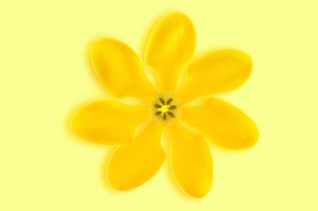 Golden gardenia flower, Gardenia carinata, on yellow background