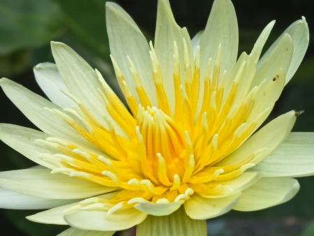 Blooming Yellow Lotus