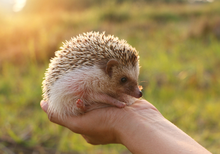 Photo pour Person Holding Cute Hedgehog in Hand  Mammal Hedgehog in sitting Position Outdoors on Sunset sceenry and Woman Hand Carefully Holding Him - image libre de droit