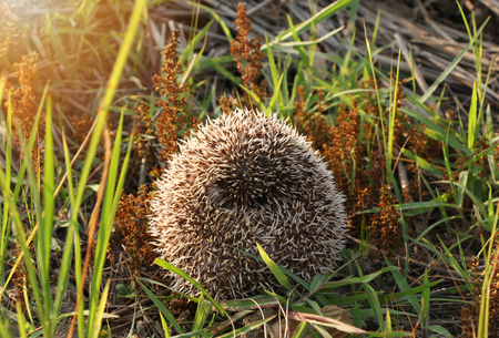 Photo pour Hedgehog curled up into a ball because of fear on floor grass on sunset - image libre de droit
