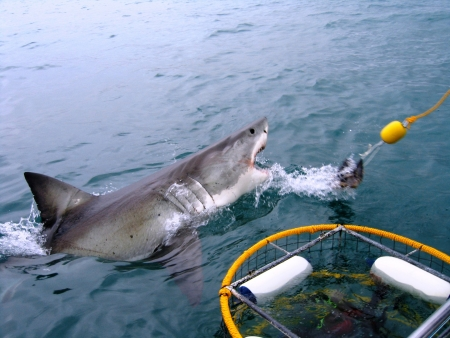 Photo for Great White Shark breeches next to a dive cage. - Royalty Free Image