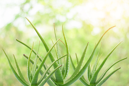 Aloe vera is a plant with many benefits both to make a drink, shampoo, skin cream and more.