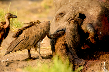 With Elphant Dead Vulture