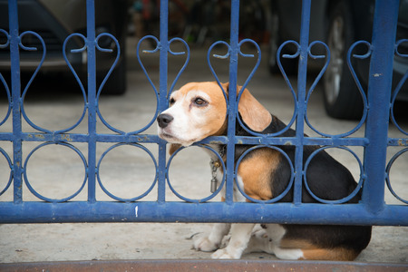 Beagle dog waiting the owner back home