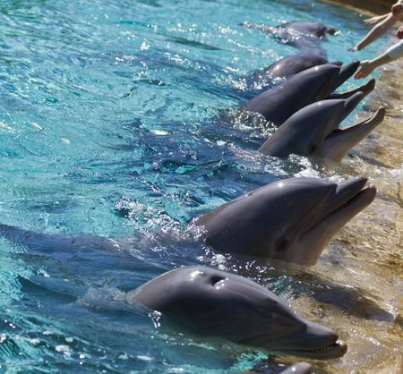 Dolphins eagerly await during feeding time at the park