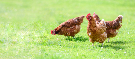 Photo pour Hens on a traditional free range poultry organic farm grazing on the grass with copy space - image libre de droit
