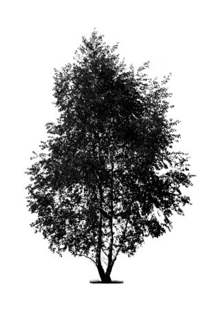 Photo pour Silhouette of a black birch tree isolated on a white background (high details) - image libre de droit
