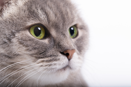 The head of the gray cat with green eyes looking up. White background, close up, small depth of sharpness, free space at the left