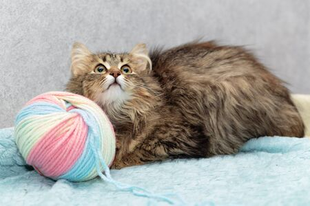 Fluffy breedless cat lies next to a large tangle of wool and looks up