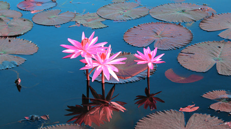 Pink Lotus in Thailand