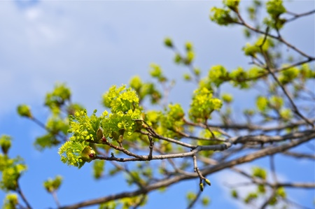 Spring Branches - Green Buds on the Tree. SPring Theme