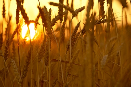 Wheat Crops in Sunset. Wheat Field Closeup. Agriculture Collection.