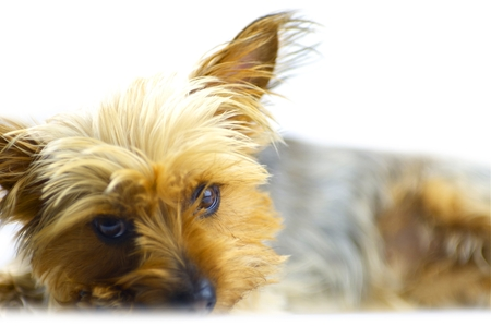 Dog Isolated on White. Australian Silky Terrier Portrait. Pets Photo Collection.