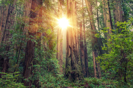 Photo pour Sunny Redwood Forest in Northern California, United States. Forestry Theme. - image libre de droit