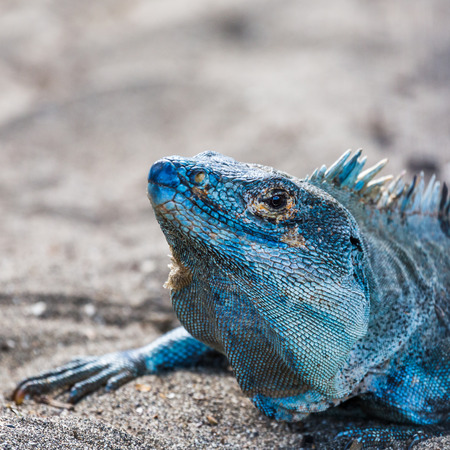 A gorgeous bluey coloured black iguana basks in the beach next to our sunbed in Guanacaste, Costa Rica.