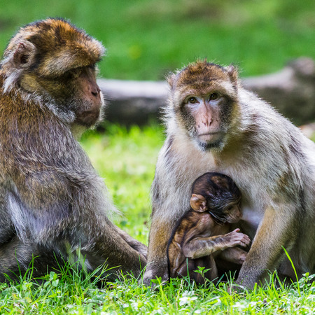 Square crop image of a family of Barbary macaques on the forest floor.  The baby is suckling from its mother as the father watches over them both.
