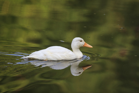 Photo pour white duck - image libre de droit