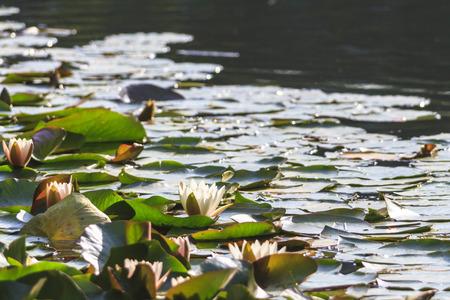 Seerosen im Park der UniversitÀt Augsburg