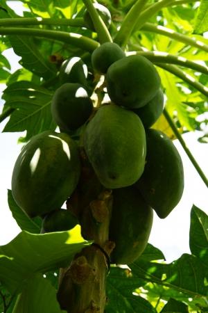 Papaya Tree - Papayabaum
