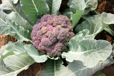 Palam vichitra broccoli, Brassica oleracea var  italica, heading broccoli, medium-sized, dark green leaves  stem with purple tinge, head purple and compact, rich in vitamins and minerals