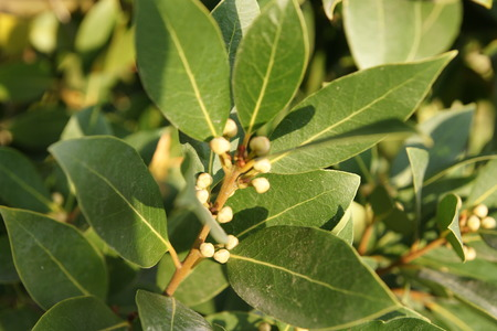 Bay laurel, sweet bay, Laurus nobilis, evergreen aromatic tree with green glossy leaves, pale yellow-green flowers, male and female flowers on different trees, small black fruits, leaves used as seasoning for foods