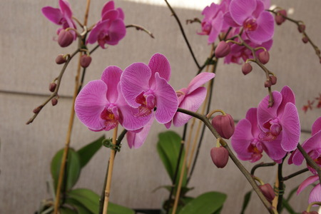 Phalaenopsis  Pink , cultivar with pink flowers with darker coloured lip, on elongated branched stalk