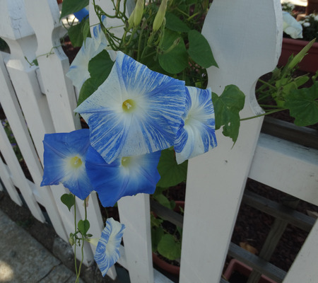 Ipomoea tricolor Flying Saucers, herbaceous vine with ovate cordate leaves and attractive flowers with sky blue and white stripes, white stigmas.