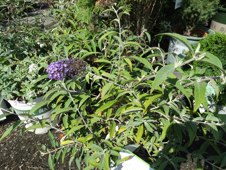 Buddleia Lo And Behold Purple Haze, dwarf cultivar with spreading branches and attractive spikes of purple flowers with orange throat.
