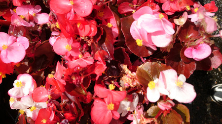 annual begonia bronze coloured colours cordate flowers inflorescence leaf leaves ovate perennial semperflorens spreading thick various