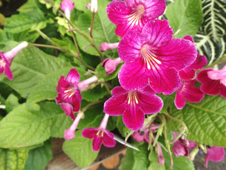 Streptocarpus hybrida Laddyslippers Pinot, ornamental herb with primrose like leaves and several dark red flowers in branched inflorescence
