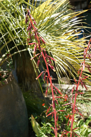 Beschorneria rigida, ornamental from Mexico with sword shaped leaves and magenta flowers and tall branched magenta inflorescence
