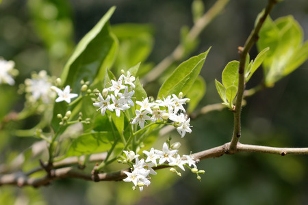 Ehretia laevis small tree with green leaves and small white flowers on forked branched inflorescence