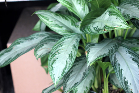 Photo pour Aglaonema Silver Bay, cultivar of Chinese Evergreen foliage plant with silver green center and dark green stripes or patches along the periphery - image libre de droit
