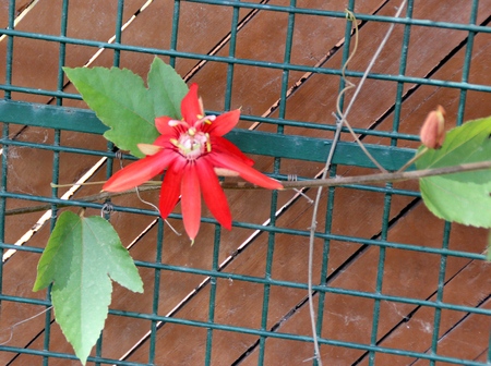Passiflora coccinea, Scarlet passion flower, vine with scarcely lobed leaves, beautiful dark red flowers and small edible red fruits