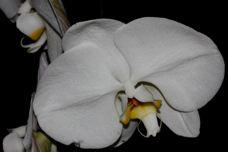 Phalaenopsis Aphrodite orchid flower, popular ornamental orchid with several long lasting white flowers on long stalk with darkly marked yellow lip with whiskers