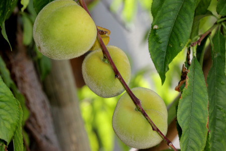 Prunus persica, Peach, deciduous tree with lanceolate leaves and drupe fruit with densely hairy skin and wrinkled stone, pulp delicious and sweet