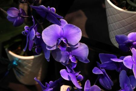 Phalaenopsis hybrid bluish purple, Moth orchid cultivar with solid bluish purple flowers with dark purple lip.