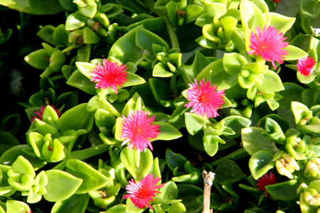 Heartleaf iceplant, Baby sun rose, Aptenia cordifolia, mat forming succulent perennial herb with shining green cordate leaves and red flowers