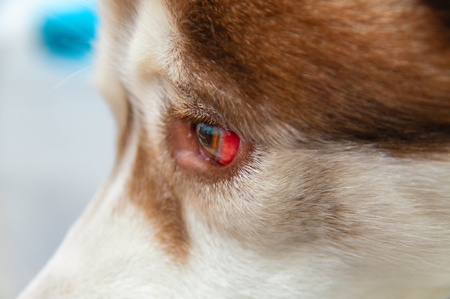 Eye of a dog with a hemorrhage resulting from a blow to the head. Siberian Husky got under the car, a traumatic brain injury. Bursting vessels in the eye, concussion.